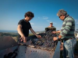 La cernita dell'uva in vendemmia nelle Tenute Dettori
