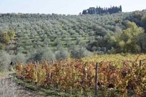 Viti e olivi a Podere Casaccia