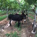 L'asinello nelle vigne di Valentina Passalacqua